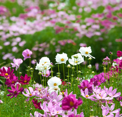 spring Cosmos flowers in blooming