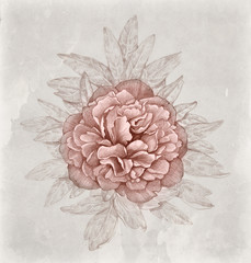 Vintage illustration of peony flower