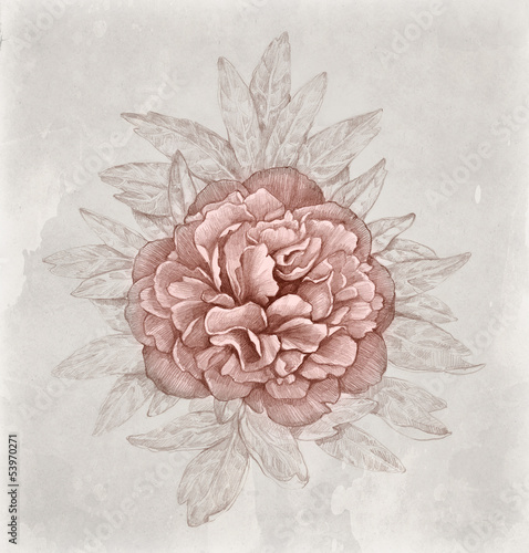 Vintage illustration of peony flower © Aleksandra Smirnova