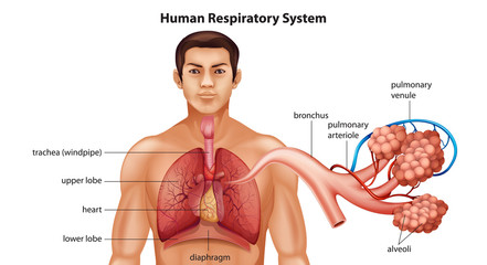 Respiratory System of Humans
