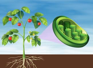 Chloroplast in plant