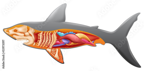 Anatomy of a shark