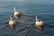 three domestic geese swimming on river