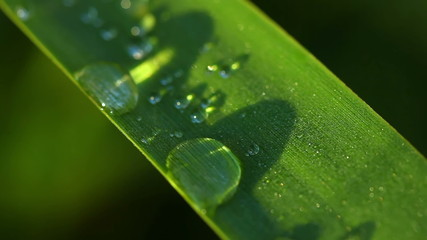 Drops of dew on the grass leaf. Macro.