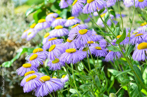 Echinacea, purple and yellow cone flowers