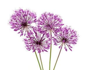 allium flowers iaolated on white