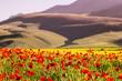 Fiori e colline a Castelluccio