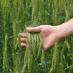 man's hand holding wheat
