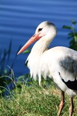 Adult stork in its natural habitat