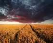 Stunning wheatfield landscape Summer sunset under moody stormy d