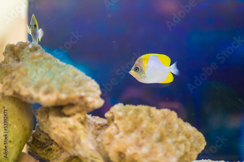 The yellow fish drifts among corals at the aquarium