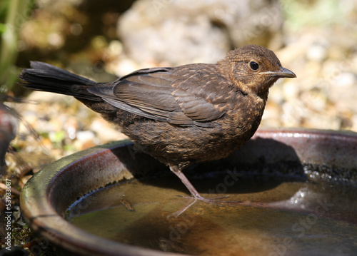 Close up of a baby Blackbird drinking from a water bowl