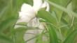 Бабочка сидящая на листе на фоне большого белого пиона