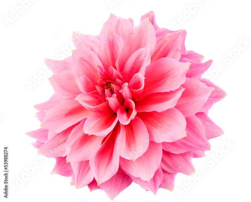 In de dag Dahlia pink dahlia