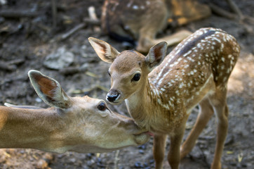 doe licks her fawn