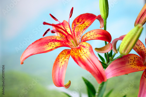 beautiful bright flower lily on opened natural background