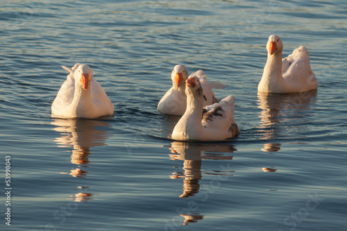 domestic geese swimming on river
