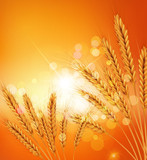 vector background with gold ears of wheat and sunrays