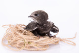 Young Eurasian Swift