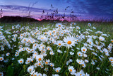 many camomile on meadow at sunset