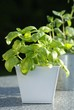 Fresh basil and oregano in flowerpots