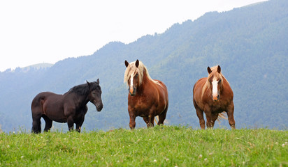 three free  horses stallions at the top of the mountain in summe