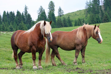 two Brown horses Stallion with the blonde mane agitated by the w