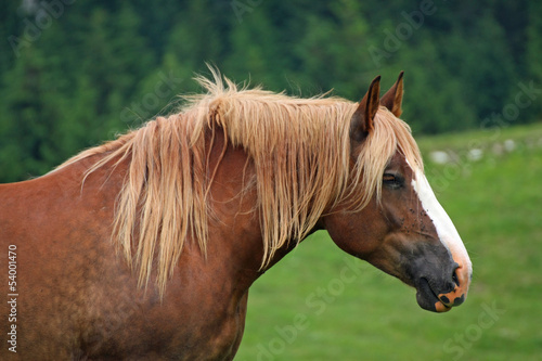 Brown horse Stallion with the blonde mane agitated by the wind