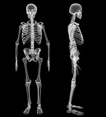 Male Human skeleton, two views