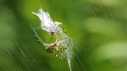 The wasp spider capturing and wrapping an insect in silk.