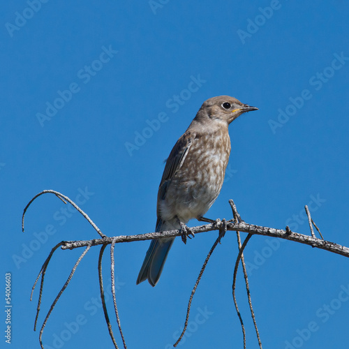 Juvenile Mountain Bluebird