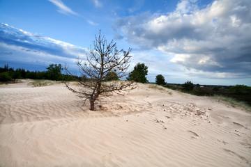 dry pine tree on sand dune