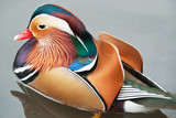 Vivid colour display of male mandarin duck.