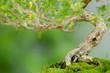 Knorriger Baustamm eines Junischnee Bonsai