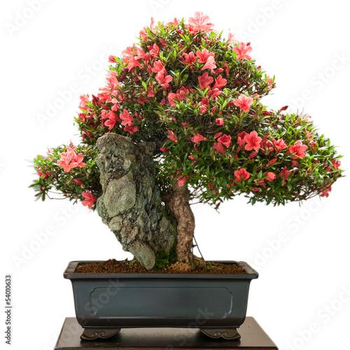 Foto op Plexiglas Azalea Rhododendron indicum Bonsai mit roten Blüten