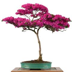 Blühende Alpenrose als Bonsai Baum