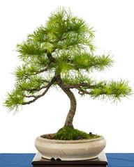 Grüne Europäische Lärche (Larix decudia) als Bonsai Baum