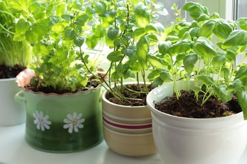 Fresh herbs in pots on a window