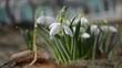 first white spring flowers snowflake snowdrop (leucojum vernum)