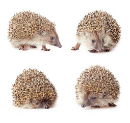 collage of a cute hedgehogs on a white background