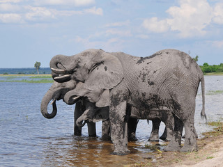 elephants on riverbank at drinking