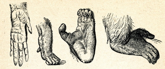 Palm and foot of gorilla