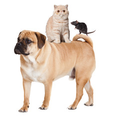 Dog, cat  and mouse isolated