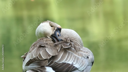 white and brown goose