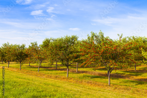 Cherries Orchard With Blue Sky