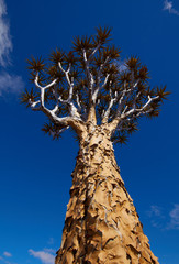 Quiver Tree in the Sky, Namibia