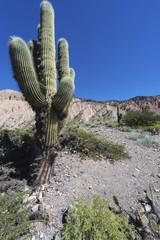 Cactus Quebrada de Humahuaca in Jujuy, Argentina.