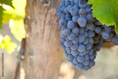 Bunch of blue grapes on the vine with leaves