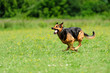 dog running on the green grass