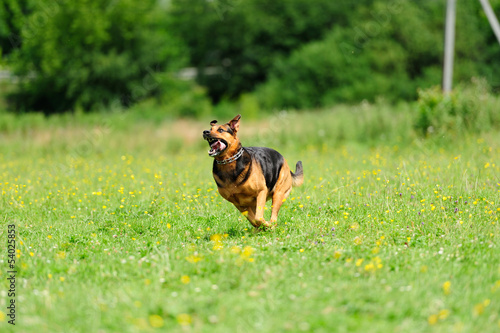 dog running on the green grass
